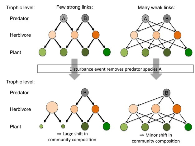 Diagram showing how the dominance of weak interactions within simplified food webs may lead to more stable communities.