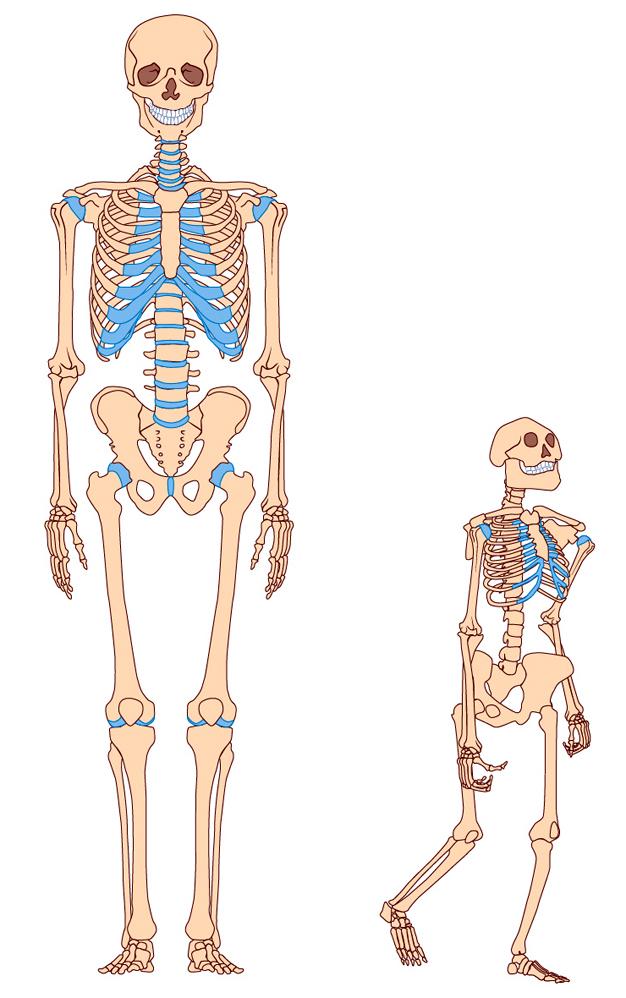 Homo erectus - A Bigger, Smarter, Faster Hominin Lineage   Learn ...