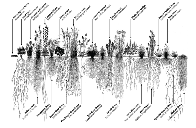 Image showing the diversity of root system architecture in prairie plants