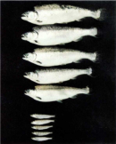 A photograph shows five silver fish oriented horizontally in a vertical row against a black background. Below, five smaller fish are also arranged similarly. The smaller fish at bottom are approximately one-third the length of the fish at top.